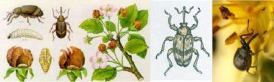 тля на малине во время цветения