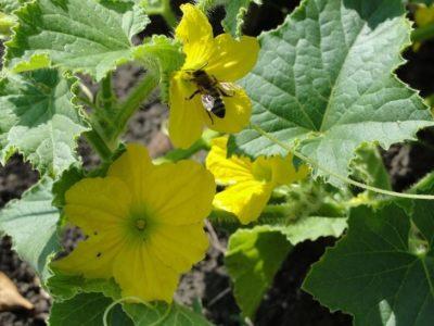 кабачки цветут пустоцветом что делать