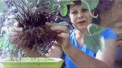 как посадить клубнику в сентябре