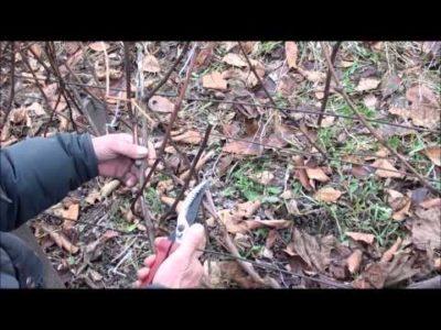 как правильно обрезать старый виноград