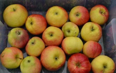 сорт яблок либерти