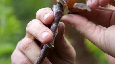 прививка саженцев яблони