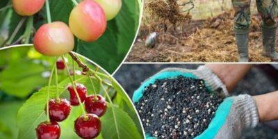удобрение черешни весной
