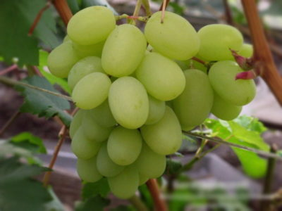 сорт винограда голубок