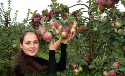 уход за яблонями в августе