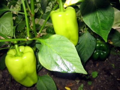болезни перцев в рассаде пупырышки