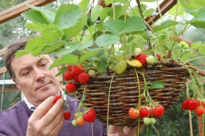 как правильно посадить клубнику в августе