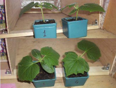 посадить огурцы в августе