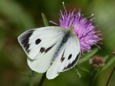 как избавиться от бабочек на капусте