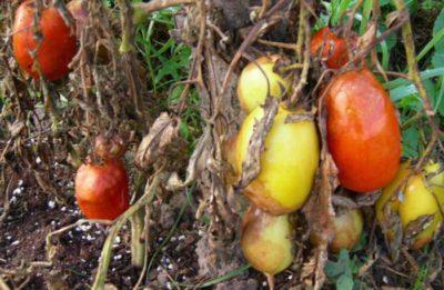 фитофтороз на помидорах как бороться