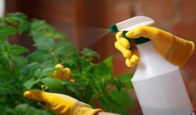 когда можно опрыскивать помидоры борной кислотой