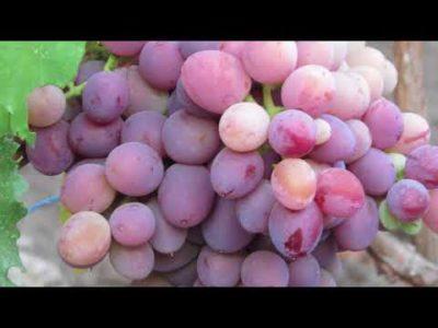сорт винограда эверест