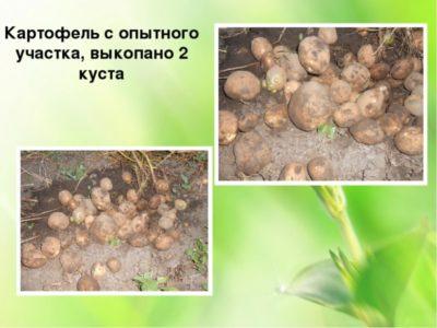 что посадить рядом с картофелем
