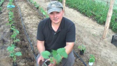 посадка огурцов в открытый грунт семенами в мае