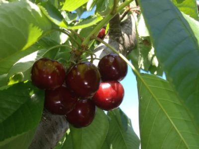 вишня шоколадница описание сорта
