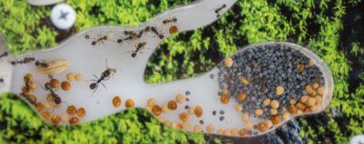 муравьи на клубнике как избавиться
