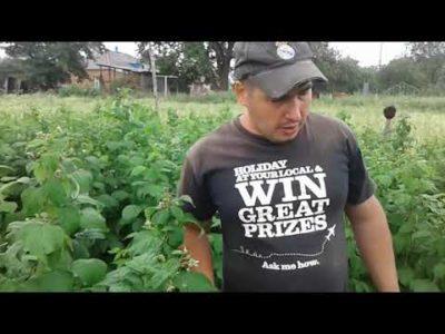 чем удобрять малину весной для увеличения урожая