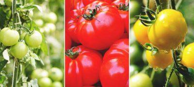 самые урожайные сладкие сорта помидор и низкорослые непасынкующиеся