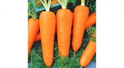 сорта моркови для ленинградской области
