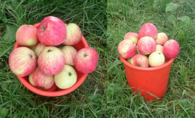сорт яблок мельба