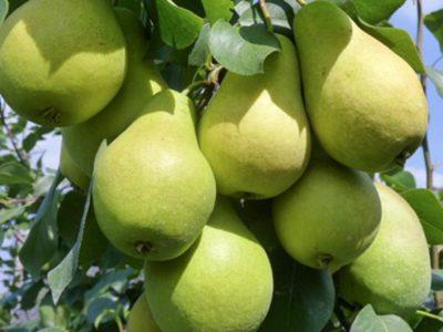 сорта груш для тверской области