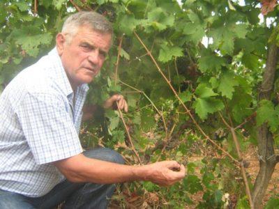 дикий виноград как посадить