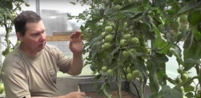 сколько оставлять пасынков на помидорах