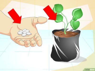 как посадить хрен осенью