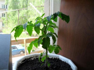 как часто поливать рассаду перца на окне