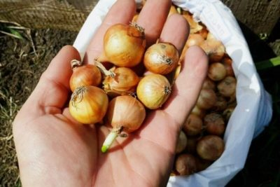 посев лука севка в открытый грунт