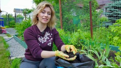 как вывести осот с огорода навсегда