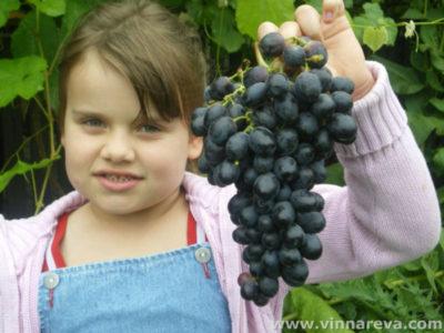 сорт винограда аттика