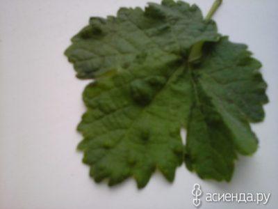 листья смородины скручиваются что делать