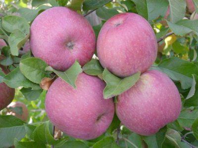 фиолетовые яблоки сорт