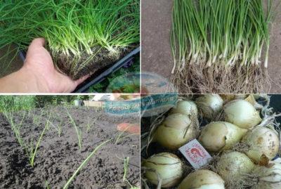 выращивание порея из семян