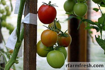 как укрыть помидоры в открытом грунте
