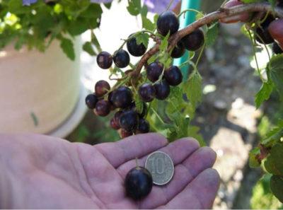 урожайные сорта черной смородины