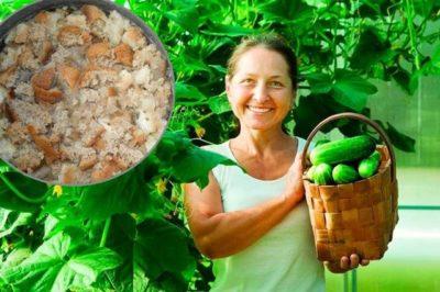 как удобрять помидоры дрожжами в открытом грунте