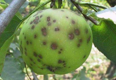 галловая тля на яблоне