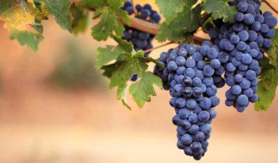 сорт винограда каберне