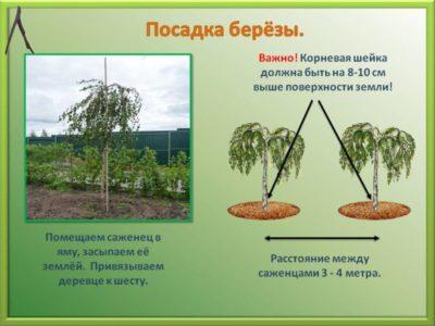 когда сажать саженцы плодовых деревьев