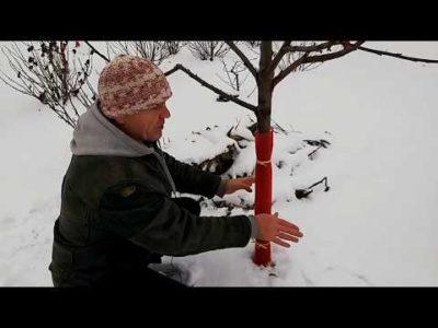 как укрыть молодые саженцы яблони на зиму