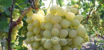 сорт винограда раджа