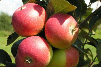 сорт яблони краса свердловска