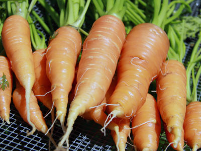можно ли рассаживать морковь после прореживания