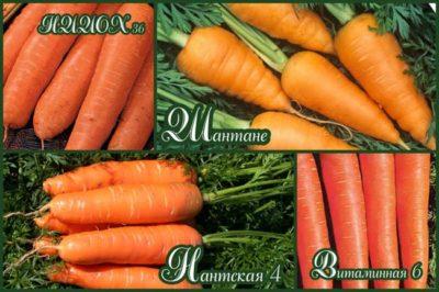 лучшие сорта моркови для урала