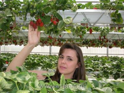 вьющаяся клубника уход и выращивание