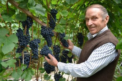 как посадить лозу винограда