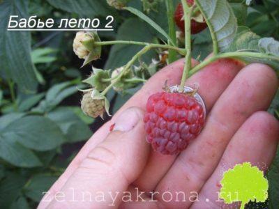 малина бабье лето описание сорта