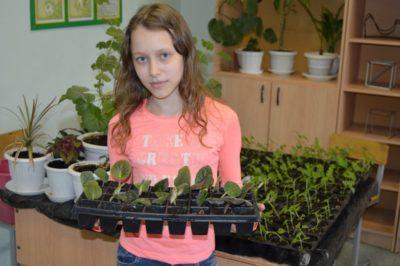 сальвия выращивание рассады
